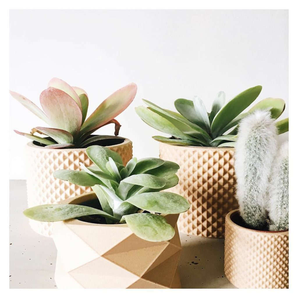 Why is succulent turning brown?