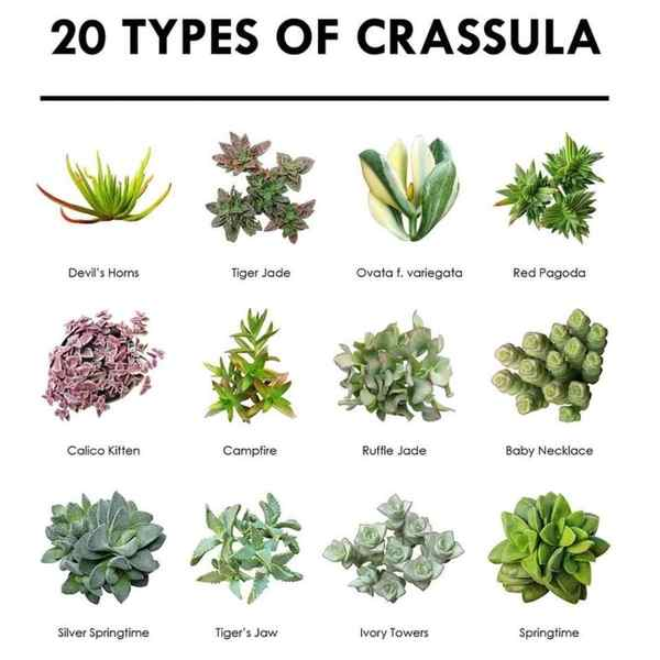 Succulent Pictorial Guide - 20 Types Of Crassula