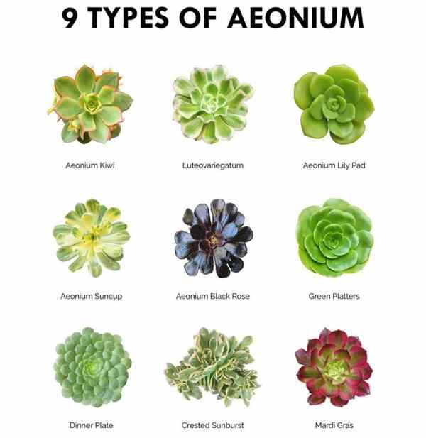 Succulent Pictorial Guide - 9 Types Of Aeonium