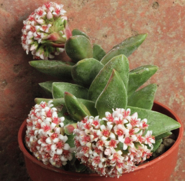 Crassula 'Bride's Bouquet'