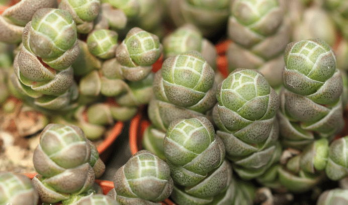 Crassula 'Emerald'