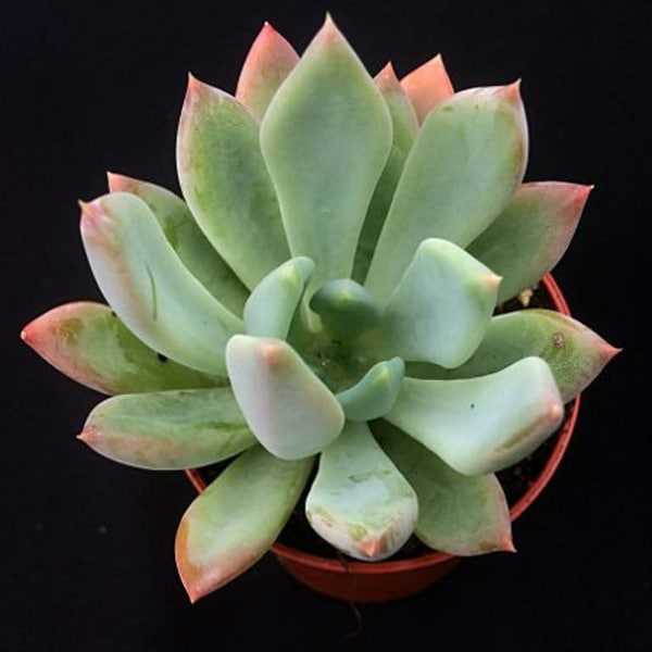 Echeveria 'Apollo'