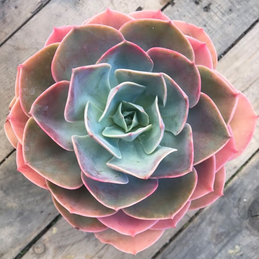 Echeveria 'Cassyz Winter'