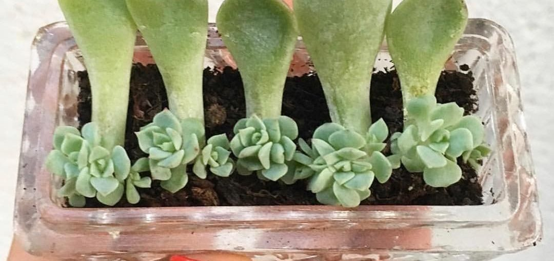 How do you keep succulents from getting leggy?