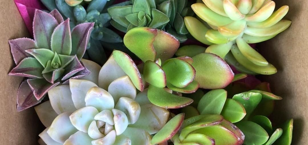 How to grow and care for Echeveria