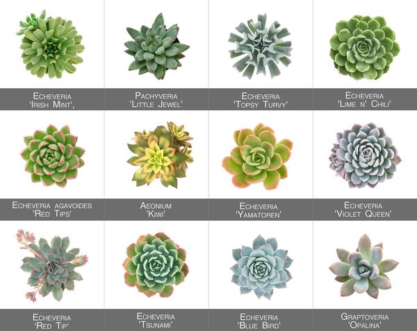 Succulent Pictorial Guide