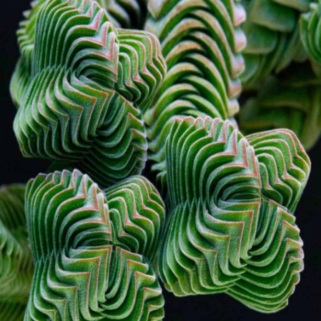 Tips Of Growing Crassula 'Buddha's Temple'