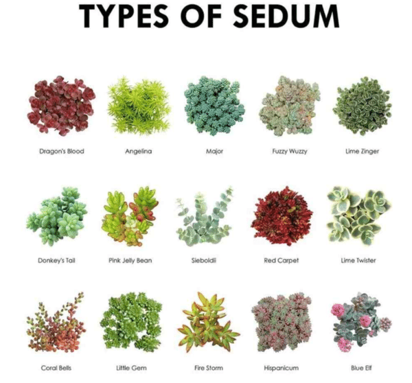 Succulent Pictorial Guide ~ Types of Sedum