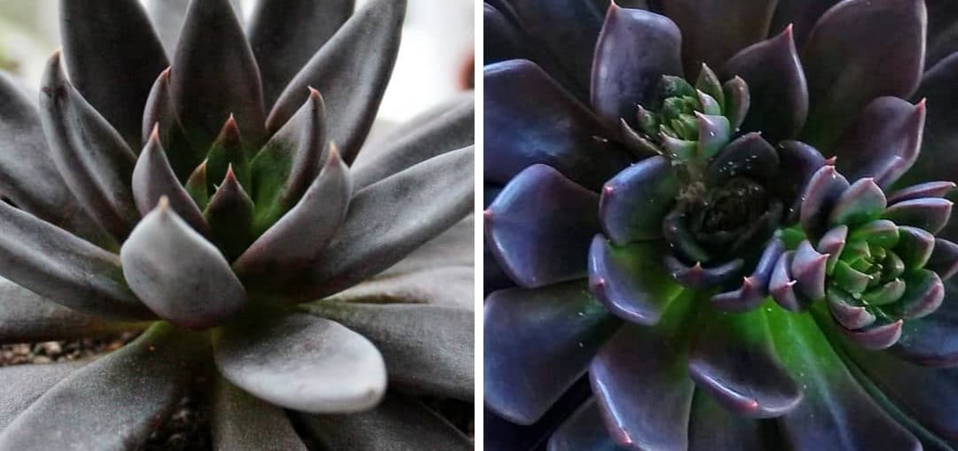 Echeveria Black Prince Versus Echeveria Black Knight