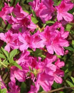 What House Plants Are Poisonous to Cats And Dogs - Azalea