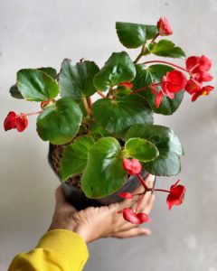 What House Plants Are Poisonous to Cats And Dogs - Begonia