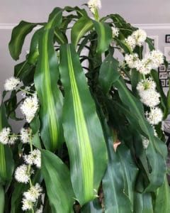What House Plants Are Poisonous to Cats And Dogs - Corn Plant