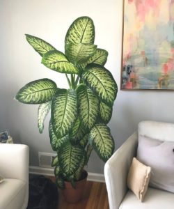 What House Plants Are Poisonous to Cats And Dogs - Dieffenbachia