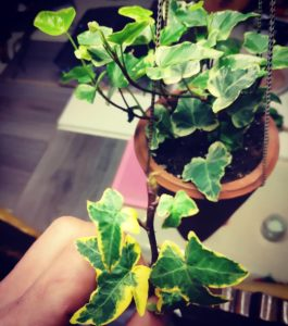 What House Plants Are Poisonous to Cats And Dogs - English Ivy