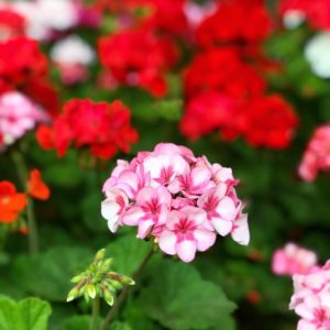 What House Plants Are Poisonous to Cats And Dogs - Geranium