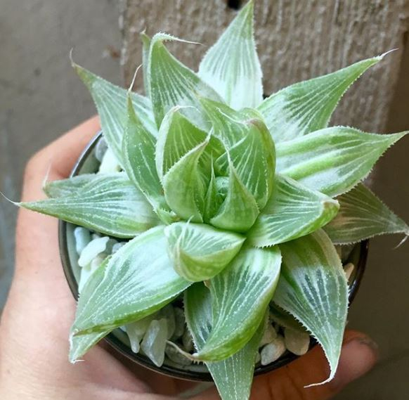 HAWORTHIA RETUSA 'WHITE GHOST'