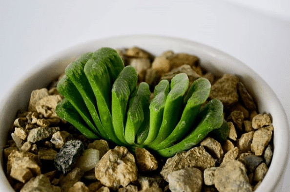 How to Care For Haworthia truncata 'Lime Green'