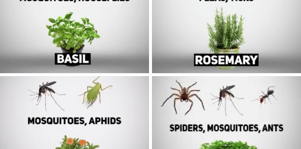 Plants that keep bugs away1