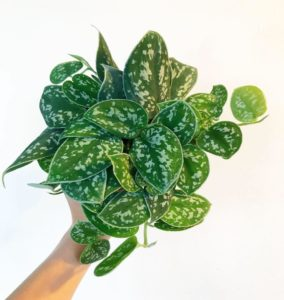 What House Plants Are Poisonous to Cats And Dogs - Satin Pothos