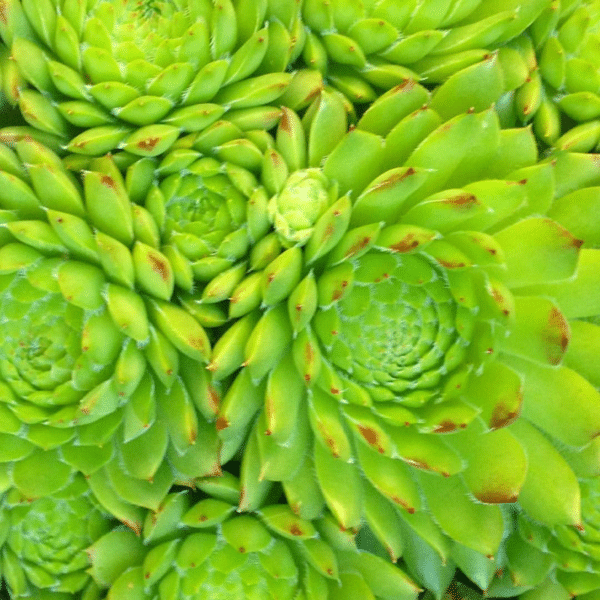 Sempervivum pumilum