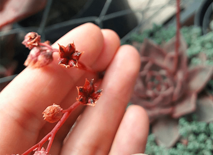 Growing Echeveria From Seeds You Should Know