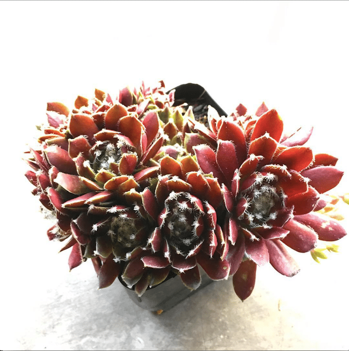 "Sempervivum 'Jade Rose' ""Hens and Chicks"""