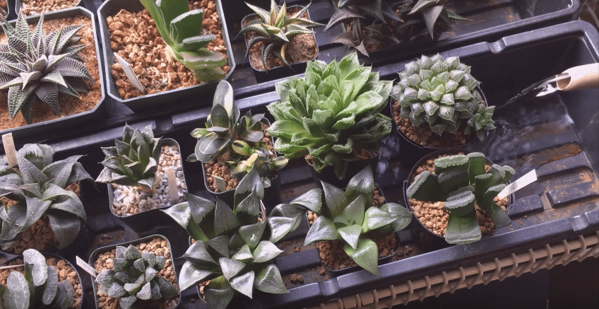 How To Grow And Care For Haworthia Suculents
