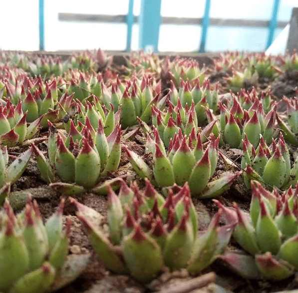 How To Care For Sempervivum Succulent