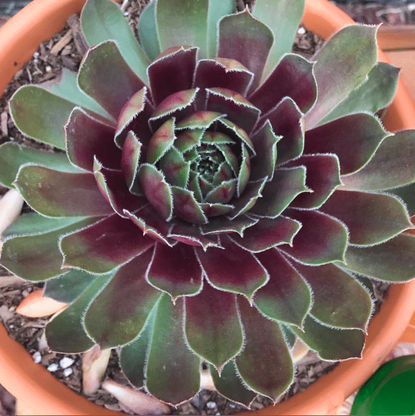 "Sempervivum 'Pacific Blue Ice' ""Houseleek"""