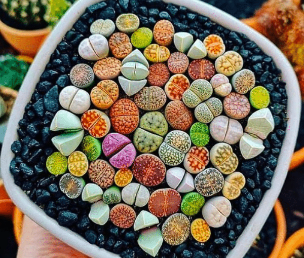5 Things You Should Know About Lithops