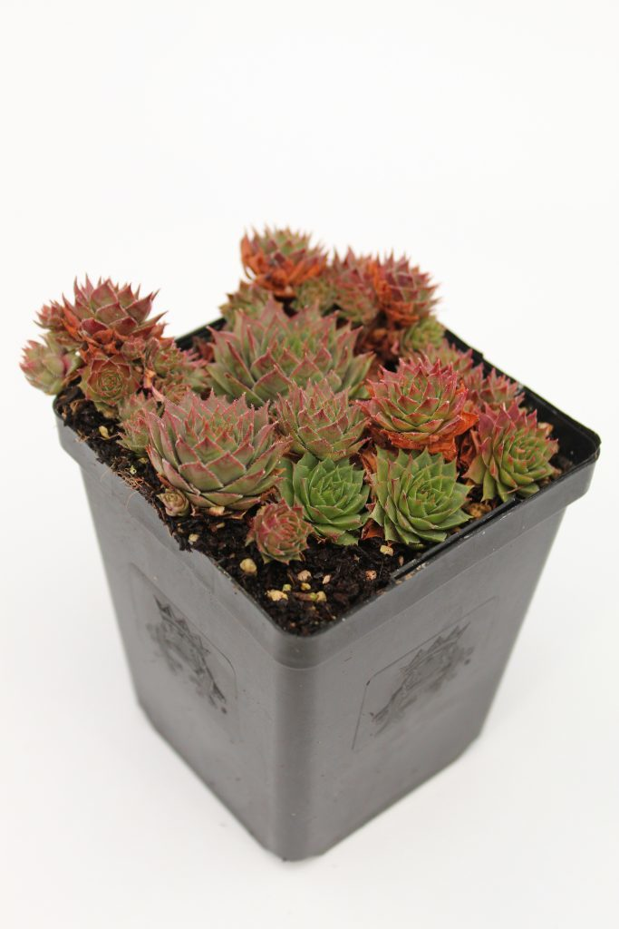 Sempervivum 'Glowing Embers'