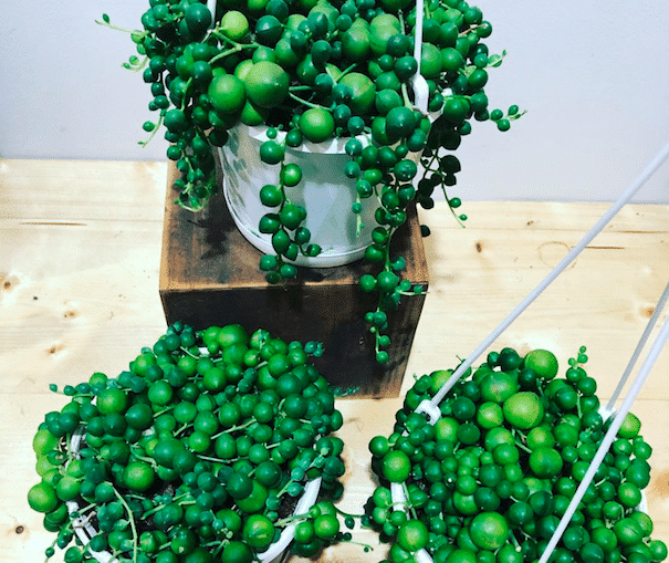 How To Take Care String Of Pearls Houseplant
