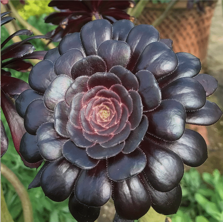 How to Care for a Black Rose Succulent Plant