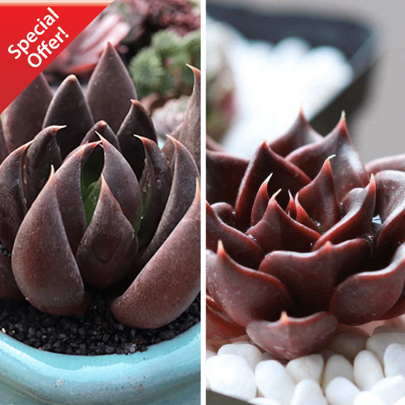 Echeveria Black Knight + Echeveria Black Prince
