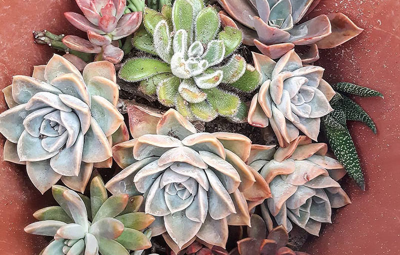 How to grow Echeveria well