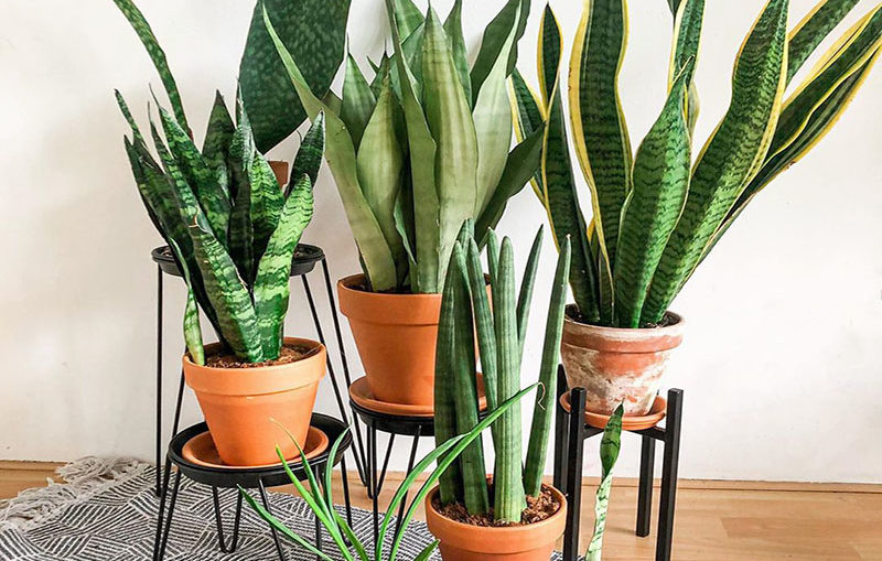 Is Sansevieria a succulent?