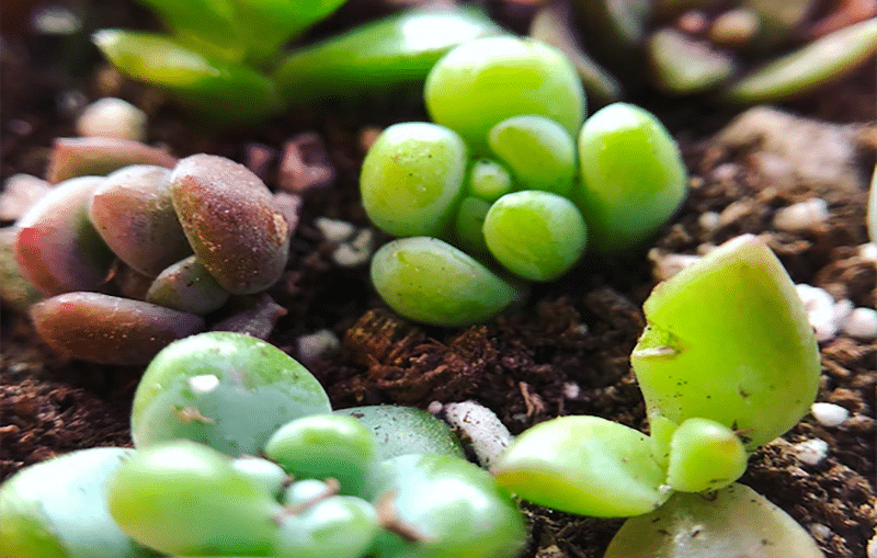 Succulents that can grow from seed and germinate