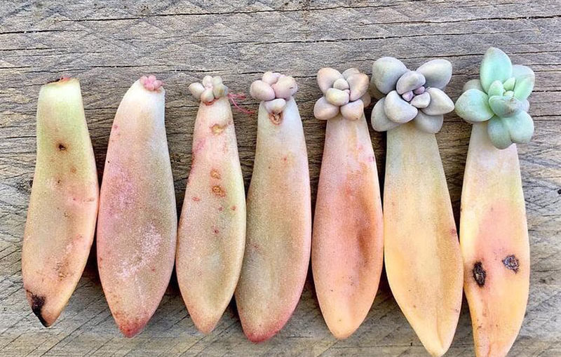 The best method to propagate succulents