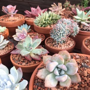 Are succulents ideal for indoor growing?