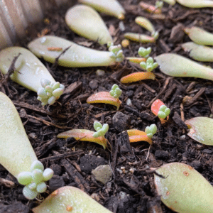 How To Propagate Succulents Fast And Easy