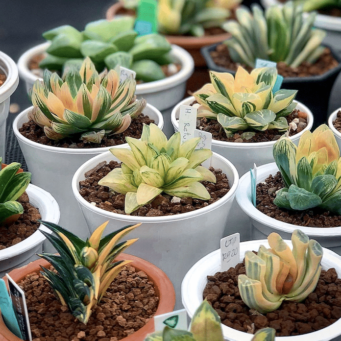 How to take care a Haworthia plant