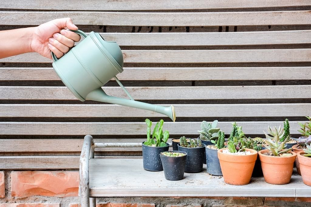 What beginners should take note when watering succulents